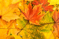 Multicolored Assorted autumn leaves background Stock Photography