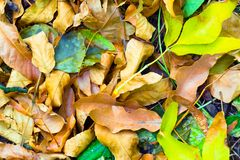 Multicolored autumn leaves as background or background stock images