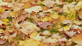 Multicolored autumn leaves lie on the grass in the autumn park. Close-up. Multicolored autumn leaves lie on the grass in the autumn park. Close-up stock video