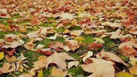 Multicolored autumn leaves lie on the grass in the autumn park. Close-up. Shooting in motion with electronic. Stabilization stock footage