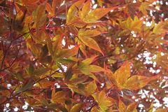 Multicolored autumn maple leaves. In Japan stock image