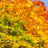 Multicolored autumnal maple leaves Royalty Free Stock Photography