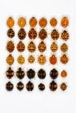 Multicolored Aziatische lieveheersbeestjes Royalty-vrije Stock Afbeeldingen