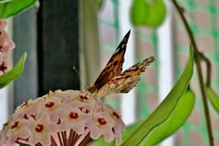 Multicolored beautiful butterfly on small pink flowers stock photo