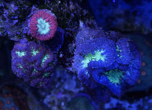 Multicolored Blastomussa Coral. Detail of several color variants of blastomussa coral underwater Royalty Free Stock Photography