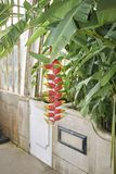 Multicolored bloeiwijze van Heliconiarostrata royalty-vrije stock foto's