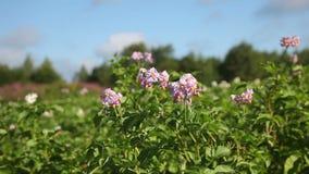 Multicolored bloemen van aardappelplant stock videobeelden