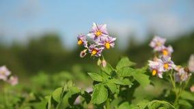 Multicolored bloemen van aardappelplant stock video