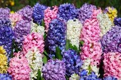Multicolored bloemenhyacinten die op het bloembed groeien stock afbeelding