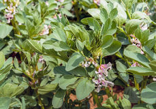 Multicolored blooming broad bean plants from close. Closeup of multicolored blossoming organically grown broad bean or Vicia faba plants Stock Images