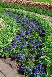 Multicolored blu and white pansy in the garden royalty free stock photo