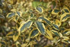 Elaeagnus pungens maculata branch stock image