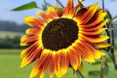 Multicolored brilliant sunflower - closeup. Closeup of a multi-colored beautiful brilliant sunflower Stock Image