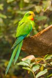 Multicolored budgies bird Royalty Free Stock Photo