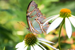 Multicolored butterfly. A multicolored butterfly perched on a daisy Royalty Free Stock Images