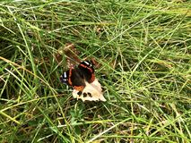 Multicolored butterfly on the grass. stock images
