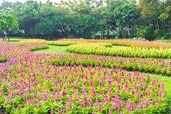 Multicolored celosiabloem in de tuin Stock Afbeeldingen