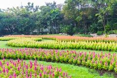Multicolored celosiabloem in de tuin Royalty-vrije Stock Fotografie