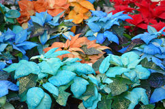Multicolored christmas poinsettias Stock Photography