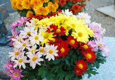 Chrysanthemum plant on a tombstone royalty free stock photo