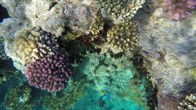 Multicolored corals on reefs in the Red Sea stock video footage