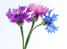 Multicolored cornflowers close up Royalty Free Stock Photography