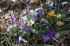Multicolored crocus blooms in the woods in early spring. In partial sun Royalty Free Stock Photography