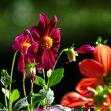 Multicolored Dahlia's op de donkergroene achtergrond stock fotografie