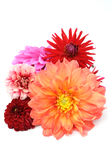 Multicolored Dahlias Royalty Free Stock Images