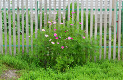 Multicolored daisies Cosmos around wooden fence Royalty Free Stock Image