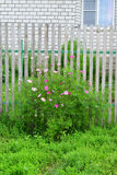 Multicolored daisies Cosmos around wooden fence Royalty Free Stock Photos