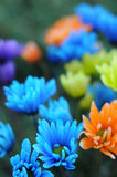 Multicolored Daisy Flowers Stock Images