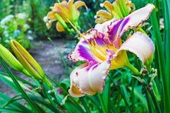 Multicolored daylilies (Hemerocallis) Royalty-vrije Stock Afbeeldingen