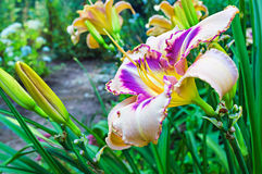 Multicolored daylilies (Hemerocallis). In the garden Royalty Free Stock Images