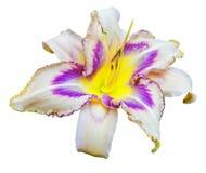 Multicolored daylily (Hemerocallis) Royalty-vrije Stock Afbeeldingen