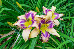 Multicolored daylily Hemerocallis in the garden Stock Images