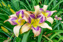 Multicolored daylily Hemerocallis in the garden Royalty Free Stock Images
