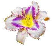 Multicolored daylily (Hemerocallis). Isolated on a white background Royalty Free Stock Photography
