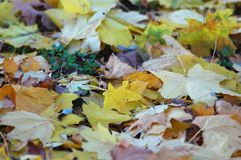 Multicolored deciduous litter from mix of fallen autumn maple and platanus leaves. Autumn background Royalty Free Stock Photo
