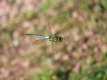 Multicolored dragonfly flying Stock Photos