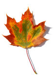 Multicolored fall leaf. Royalty Free Stock Photos