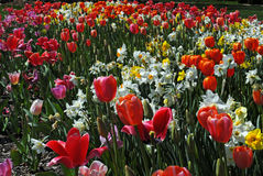 Multicolored field of tulips and daffodils. In spring Royalty Free Stock Photo