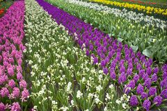 The Multicolored fields of daffodils, tulips and hyacinths in Holland Stock Image
