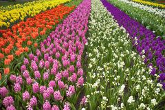 The Multicolored fields of daffodils, tulips and hyacinths in Holland Royalty Free Stock Photo
