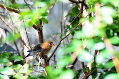 Multicolored finch bird Royalty Free Stock Images