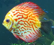 multicolored fish Royalty Free Stock Image