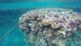 Multicolored fish swim among reefs in clear water stock footage