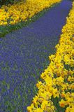 Multicolored flower-bed of narcissi and hyacinths Stock Images