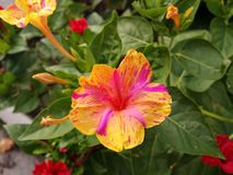 Multicolored flower. In the garden Royalty Free Stock Photography