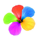 Multicolored flower.Isolated. Royalty Free Stock Photos